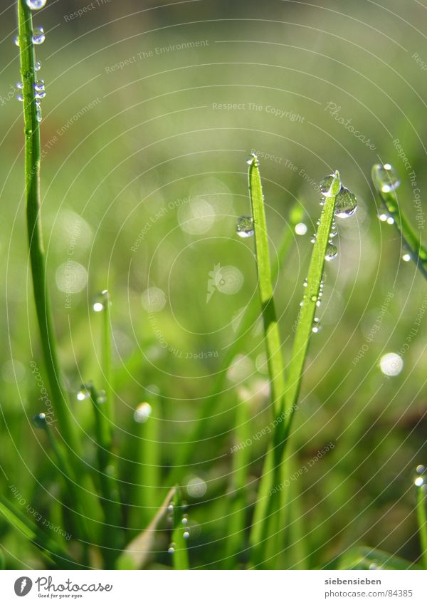 In the morning Lighting Glittering Beautiful Meadow Grass Blade of grass Green Drops of water Damp Wet Fresh Juicy Shaft of light Natural phenomenon Sunrise