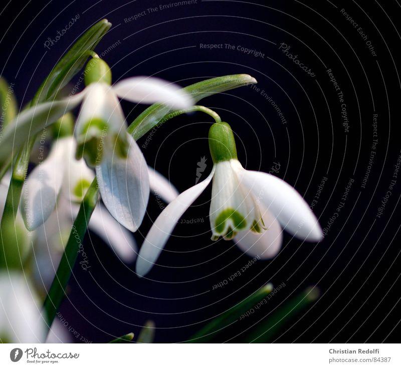 flower White Green Plant Black Blossom Spring Garden Snowdrop Spring flower White clover