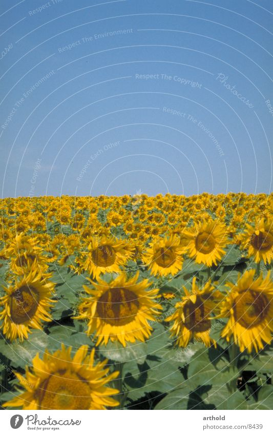 Sunny to the horizon Sunflower Sunflower field Flower field Plant Crops Oleiferous fruit Blossom Blossoming