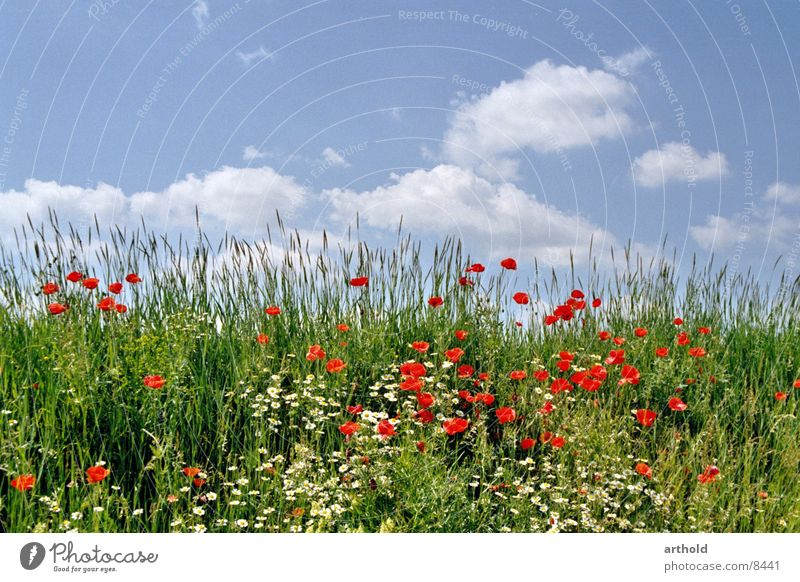 Beautiful road ditch Flower Meadow Flower meadow Green Clouds Poppy Corn poppy Spring Summer Blossom Grass Sky Blossoming Escarpment
