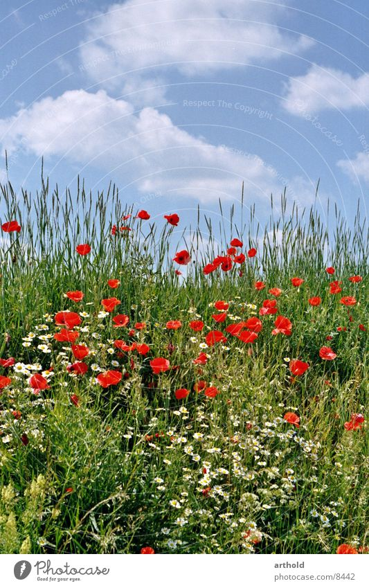 Sky Green Summer Flower Clouds Meadow Grass Blossom Spring Blossoming Poppy Flower meadow Corn poppy Escarpment