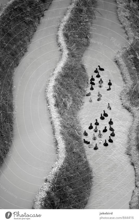 duck drops Coast River Bird Duck Group of animals Swimming & Bathing Black & white photo Exterior shot Deserted Copy Space left Day Bird's-eye view