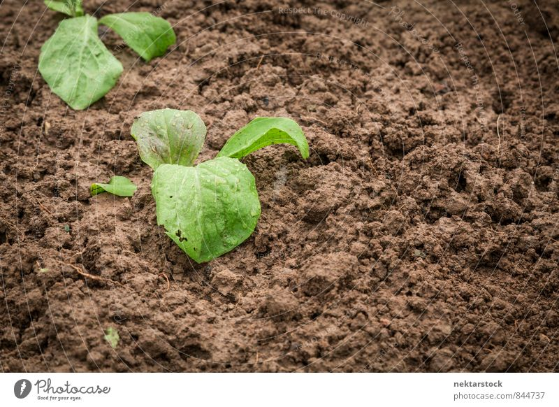 New vegetables grow in the garden Vegetable Lettuce Salad Nature Plant Summer Healthy Brown Green soil growing sprout growth young new dirt farm agriculture