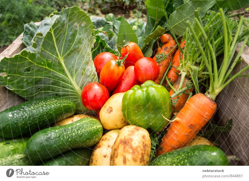Fresh vegetables from the garden Vegetable Lettuce Salad Organic produce Vegetarian diet Summer Nature Healthy Cheap Quality food organic gardening harvest