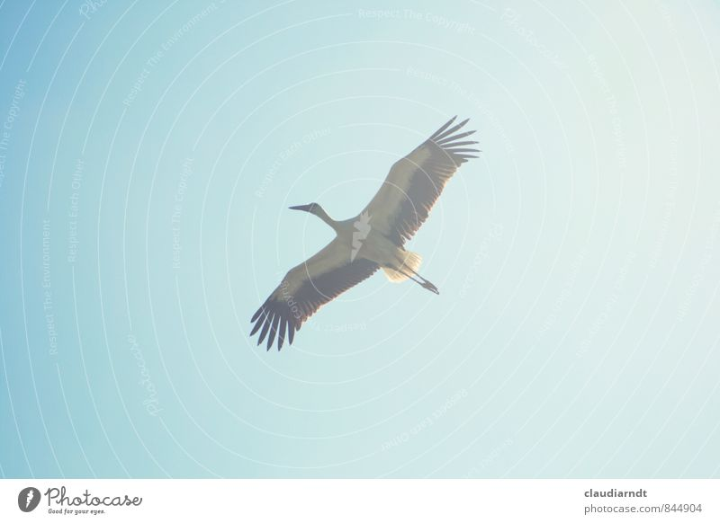fly away Sky Cloudless sky Animal Wild animal Bird Wing Stork White Stork 1 Flying Esthetic Large Blue Freedom Span Migratory bird Majestic Far-off places