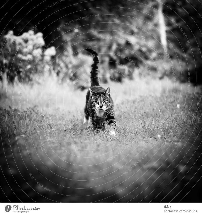 wait Summer Beautiful weather Grass Bushes Garden Meadow Pet Cat 1 Animal Walking Running Wait Friendliness Happy Curiosity Feminine Wild Gray Black Silver
