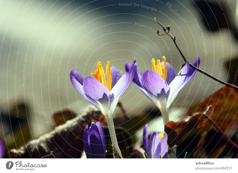 awake Crocus Pure Flower Spring Fresh 2 Together Beautiful Delicate Caresses Violet Connectedness Division Nature Beautiful weather spotless In pairs Perfect