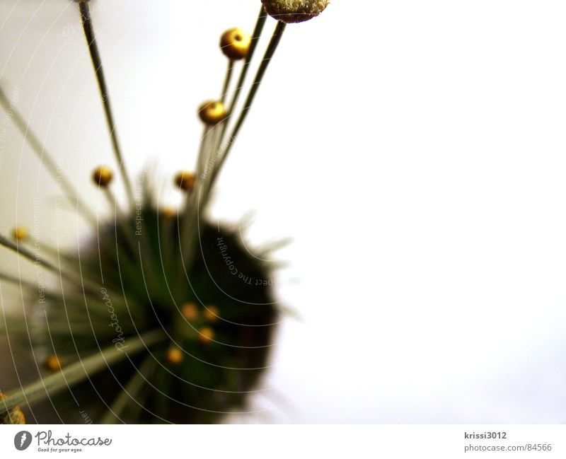 golden plant III Sphere Flower Plant Green Stalk Round Bouquet Botany Blade of grass Part of the plant Florist Circle Grass Gold Decoration