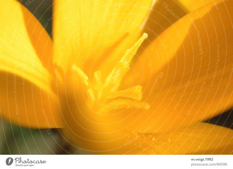 yellow Colour photo Close-up Detail Macro (Extreme close-up) Deep depth of field Plant Spring Flower Blossom Crocus Pistil Calyx Pollen Spring flowering plant