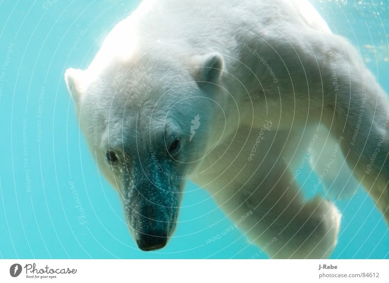 Water White Cold Head Pelt Dive Mammal Bear Illuminating Animal Polar Bear