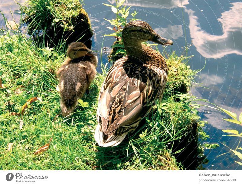 sunbath Exterior shot Summer Nature Landscape Animal Water Grass Meadow Lake River Bird Together Protection Safety (feeling of) mother's happiness Lawn Duck