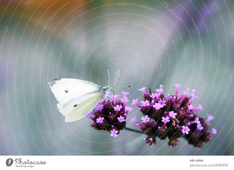 meal Environment Nature Plant Summer Flower Blossom Butterfly 1 Animal Violet Pink White Colour photo Exterior shot Macro (Extreme close-up) Deserted