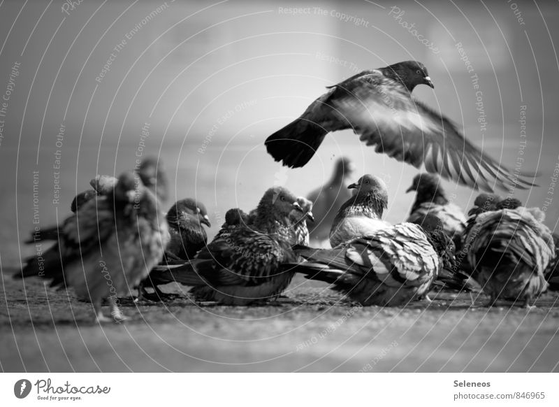 One flew over the pigeon festival Animal Wild animal Bird Pigeon Wing Group of animals Flying Wet Puddle Cleaning Black & white photo Exterior shot Light