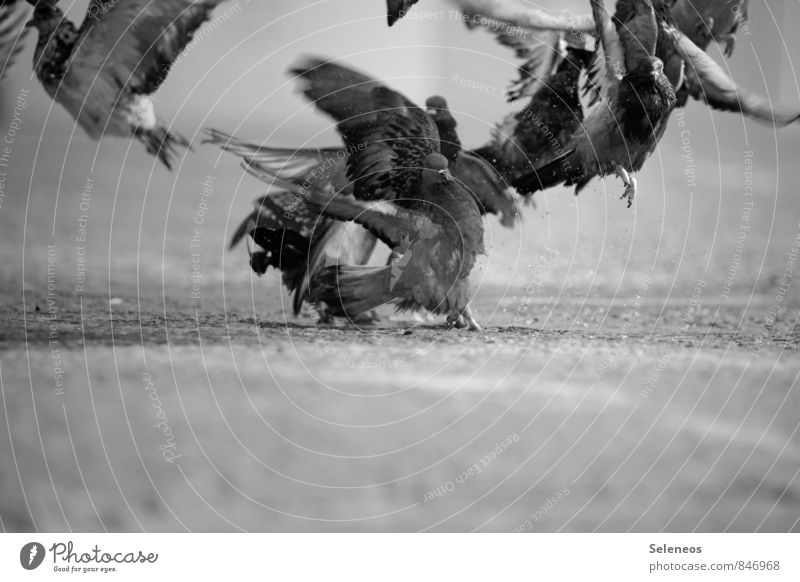 Pigeons fly up Trip Adventure Freedom Street Animal Wild animal Bird Group of animals Flying Natural Airplane takeoff Departure Black & white photo
