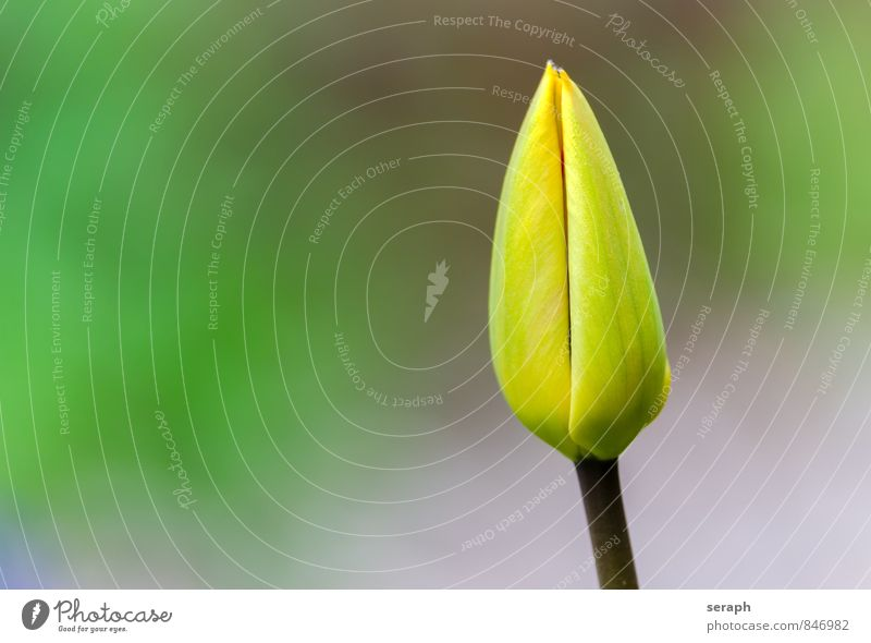 Tulip Bud Stamen stamp Flower blooming Blossom florescence Blossoming Growth Plant Botany Leaf Blossom leave Nature Beauty Photography Garden Fresh Florist