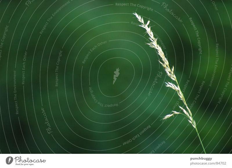 Nature Green Meadow Grass Garden Pasture Blade of grass Single
