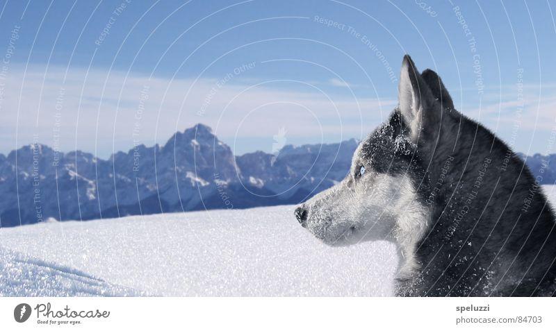 Siberian husky Blake Husky Winter Animal dog slovenia blue eyes snow.wolf mountains siberia.