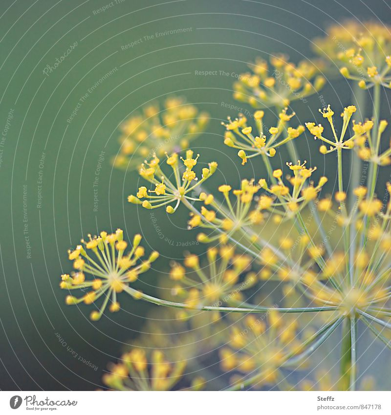 Dill grows in the herb garden Dill blossom Fish flavoring kitchen spice Herbacious organic Yellow Green Near Food Agricultural crop fresh from the garden