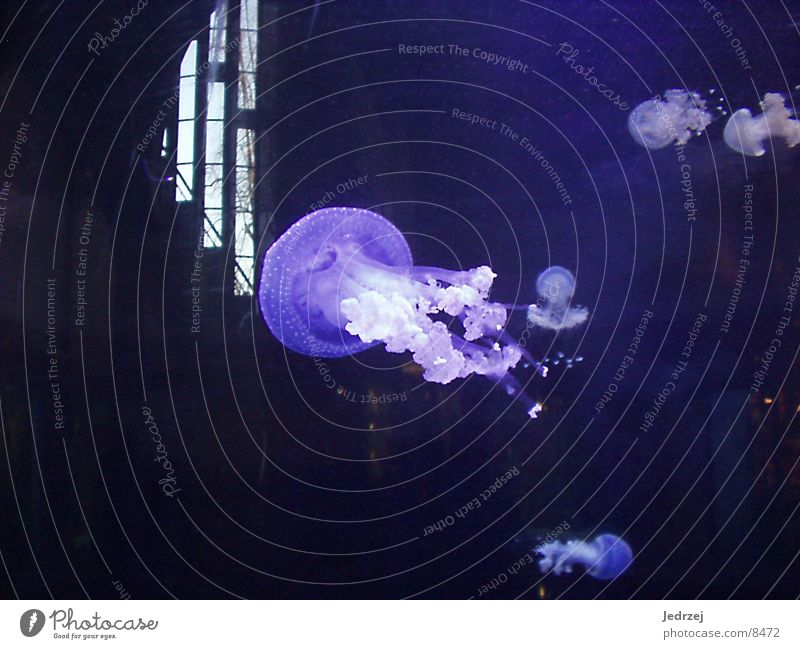 Water Ocean Blue Animal Aquarium Jellyfish