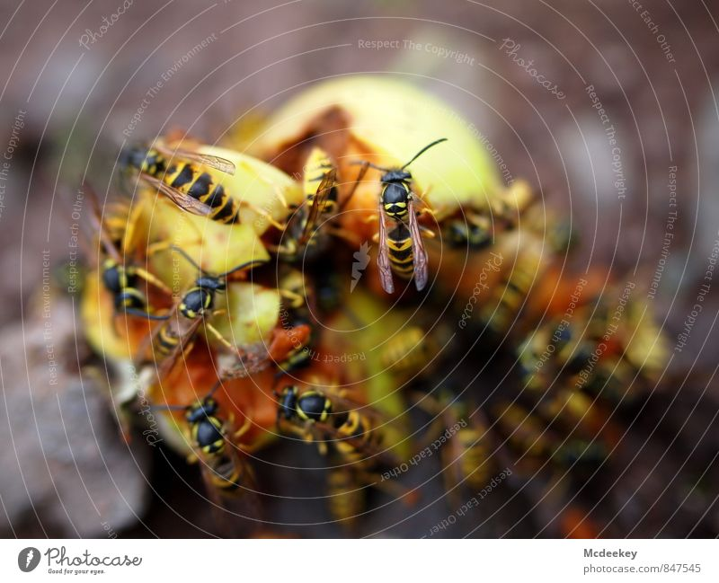 Wasp Buffet Food Fruit Apple Alcoholic drinks Nature Summer Beautiful weather Warmth Field Animal Farm animal Wild animal Dead animal Wasps Group of animals