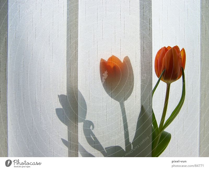 shadow play Market garden Bulb flowers Spring flower Tulip Vase Red Blossom Flower Spring flowering plant Light Visual spectacle Window Morning