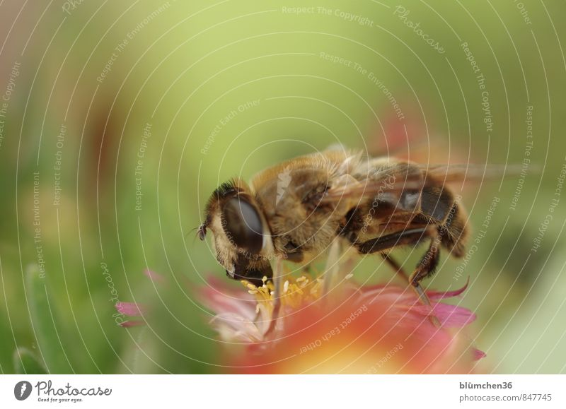 She's not stinging! Nature Plant Blossom Livingstone daisy Succulent plants Animal Farm animal Wild animal Fly Insect Drone fly Dipterous Hover fly 1 Small