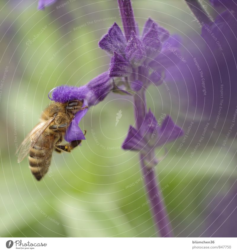 docking station Animal Farm animal Wild animal Bee Honey bee Insect Wing Pelt Beautiful Small Natural Feminine Sprinkle To feed Carrying Blossoming Violet