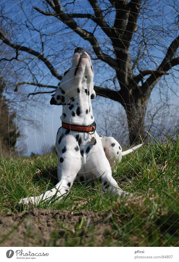 Spring is in the air! Dalmatian Dog To go for a walk Mammal enzo chien dalmation Walk the dog go out with the dog