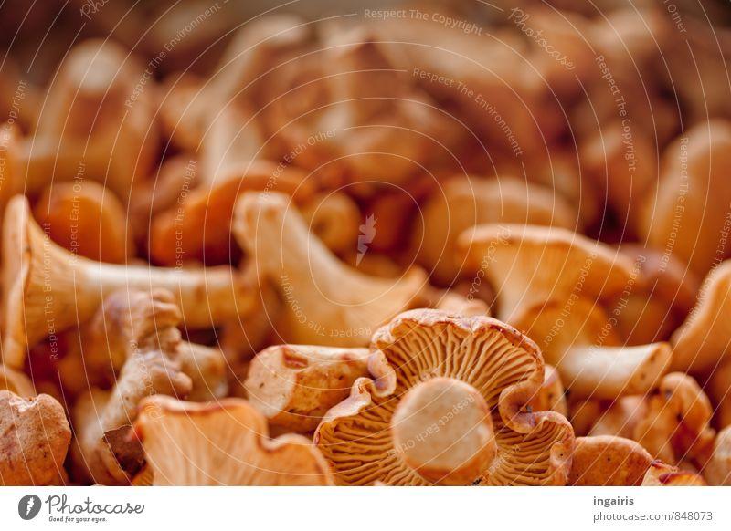 Fine gourmet food Food Chanterelle forest mushrooms Nutrition Organic produce Vegetarian diet Plant Mushroom Illuminate Fragrance Fresh Healthy Small Yellow
