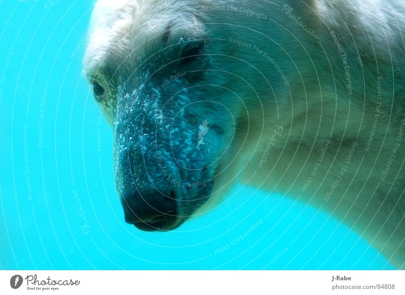 Polar bear - ice cold 2 Polar Bear Cold Dive The Arctic Illuminating All-weather Fresh Ice Winter Mammal colder Water north polar region north pole area aqueous