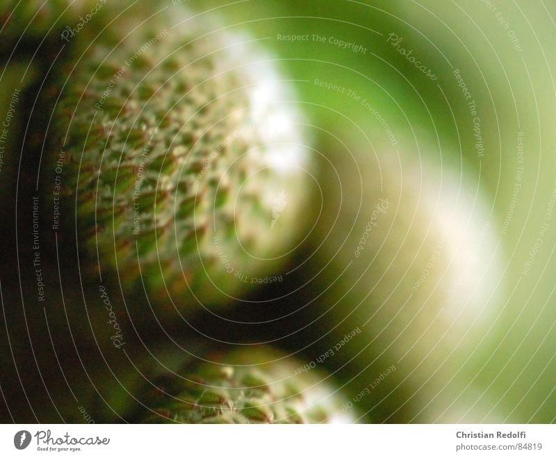 albiflorum Flower Green Plant Blossom Round Sphere Protea