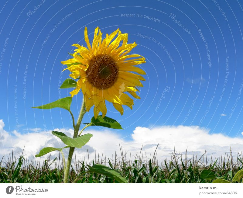 summertime Sunflower Yellow Blue-yellow Summer Vacation & Travel Sky travel time