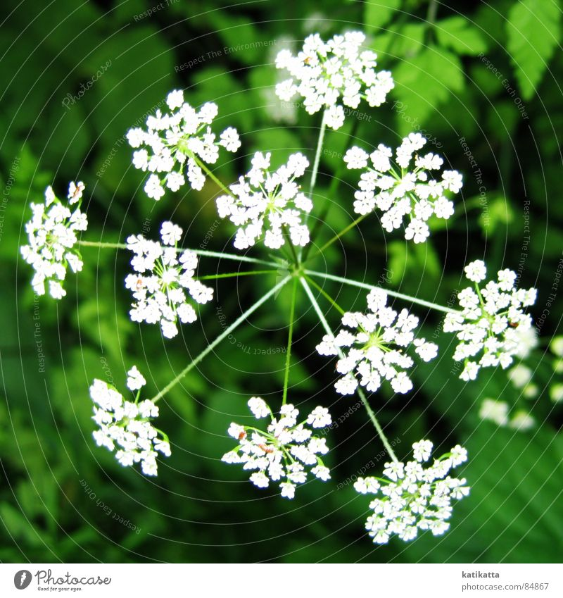 fireworks Flower Green Small Plant Blossom Spring Summer White Meadow Nature