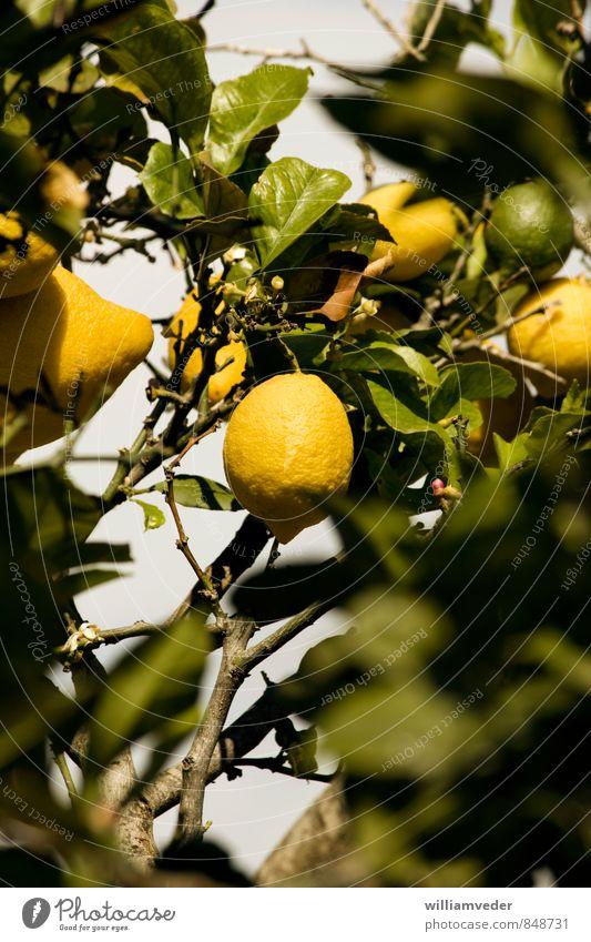 Lemon hanging from a lemon tree Life Summer Summer vacation Sun Nature Animal Plant Sour Yellow Green Caribbean Sea Mediterranean sea Fruit Greece