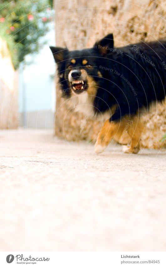 Dog Fear Dangerous Ear Asphalt Anger Sidewalk Pavement Mammal Panic Aggravation Tar Animal Croatia Trenchant