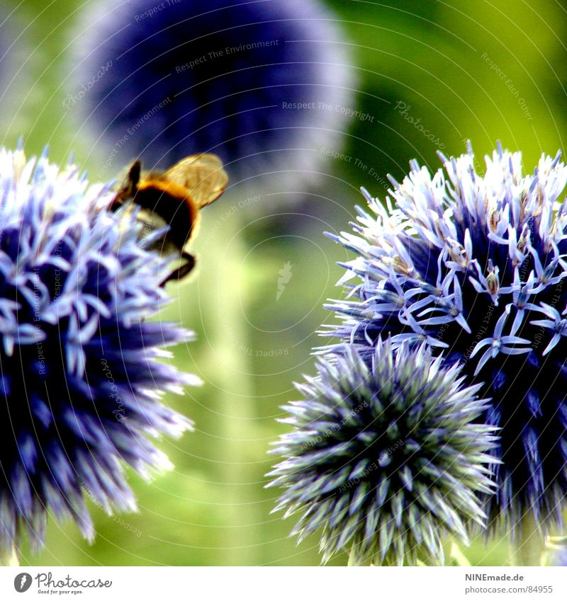 The story with the bumblebees and the flowers ... Bumble bee Flower Blossom Sprinkle Green Round Thorny Blue-red Violet Blossoming Blur 4 Insect Disheveled