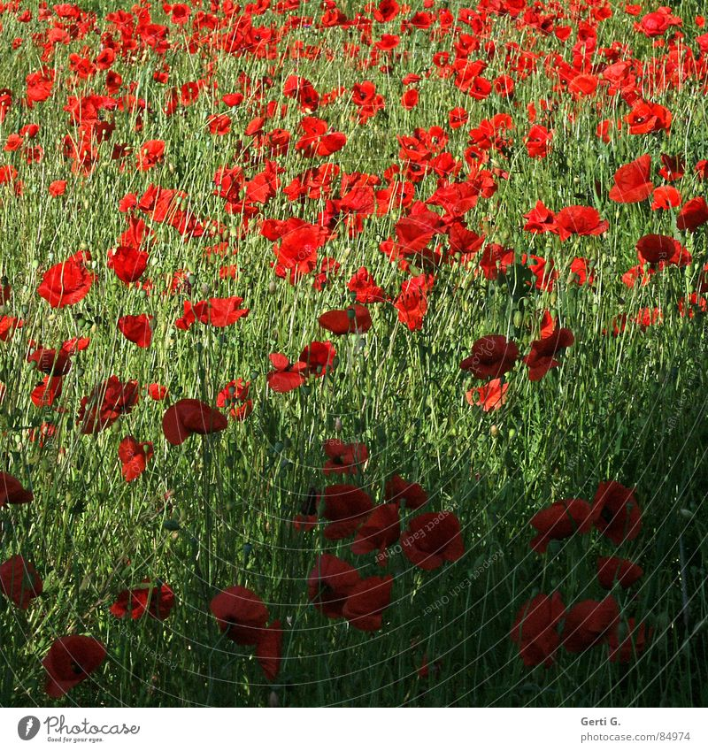 Nature Green Red Summer Blossom Multiple Blossoming Flower meadow Poppy field Corn poppy