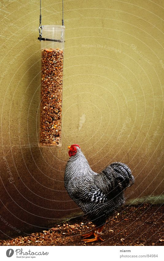Red Animal Nutrition Wall (building) Food Bird Multiple Feather Many Grain Egg To feed Seed Banquet Feeding