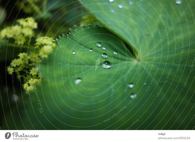 droplet Nature Drops of water Spring Summer Beautiful weather Rain Plant Leaf Alchemilla leaves Alchemilla vulgaris Lie Fresh Small Wet Round Juicy Green