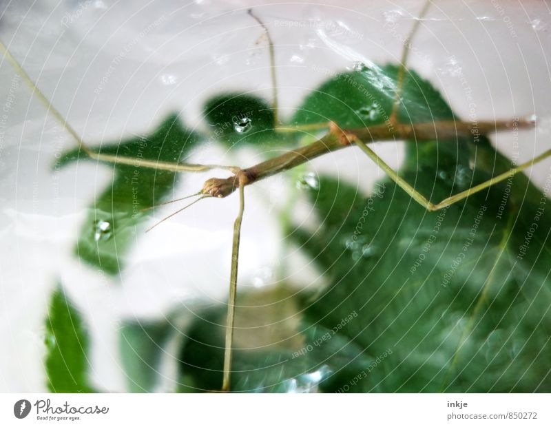 Air upwards Plant Leaf Animal Pet Wild animal Insect Locust stick insect Terrarium 1 Hang Crouch Thin Exotic Long Near Green Keeping of animals Airhole