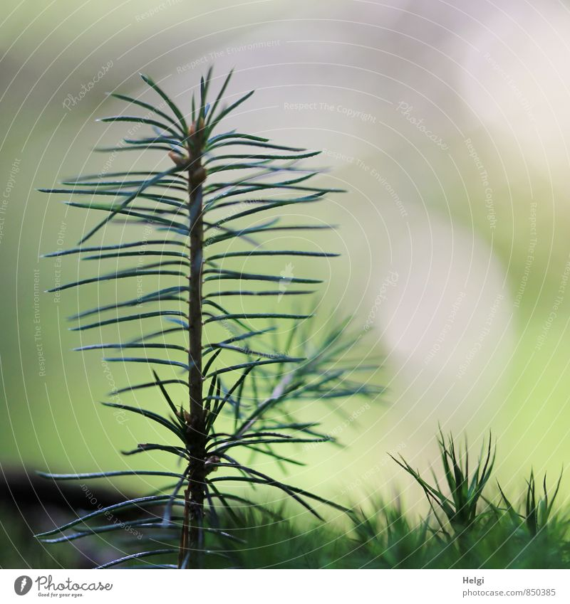 novice Environment Nature Plant Summer Tree Moss Wild plant Spruce Fir needle Coniferous trees Forest Stand Growth Esthetic Authentic Simple Uniqueness Small