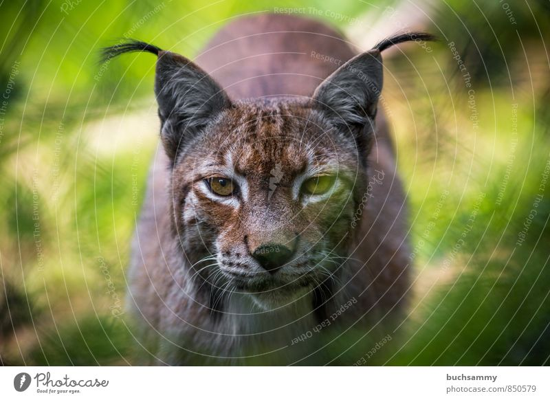 lynx Animal Pelt Wild animal Cat Animal face Zoo Lynx 1 Brown Yellow Green eyes Beard hair camera view Laurasiatheria Land-based carnivore predator eyes