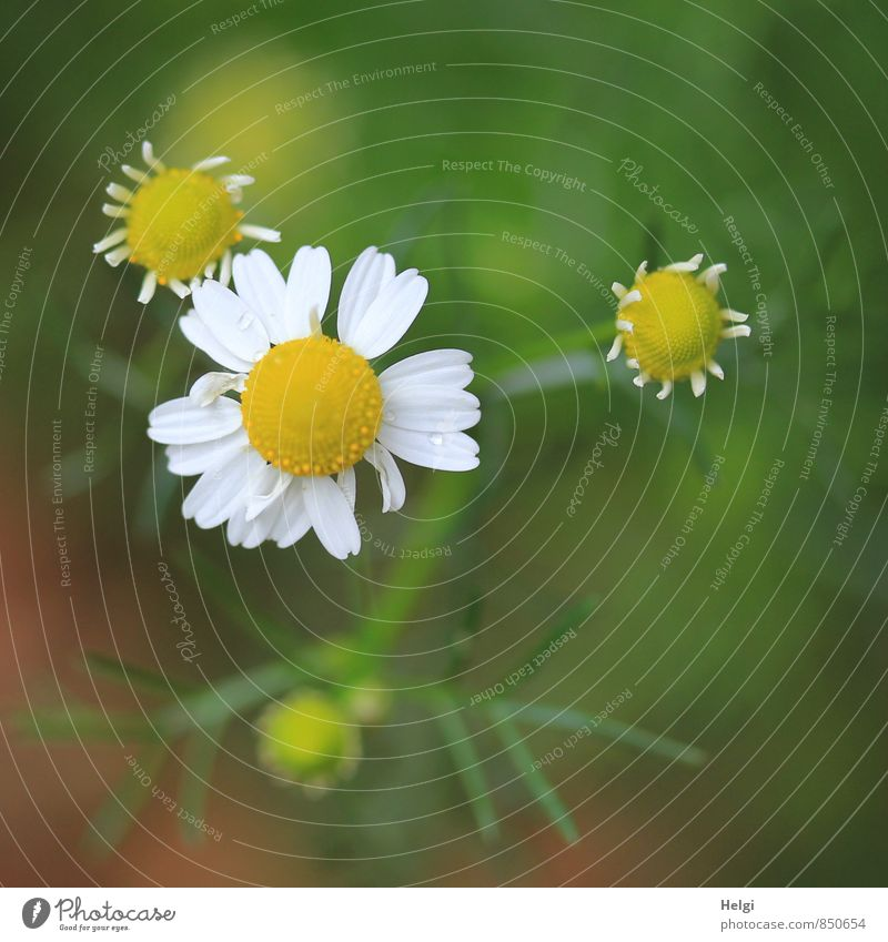 Nature Plant Green White Summer Flower Environment Yellow Meadow Blossom Natural Small Growth Stand Esthetic Simple