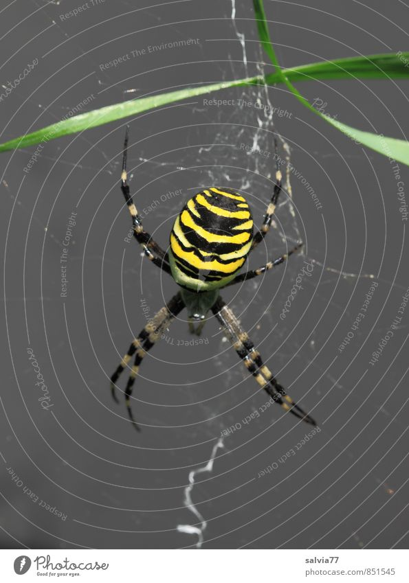 On the lookout Environment Nature Animal Summer Wild animal Spider 1 Catch Wait Esthetic Threat Disgust Exotic Creepy Astute Yellow Black Attentive Watchfulness