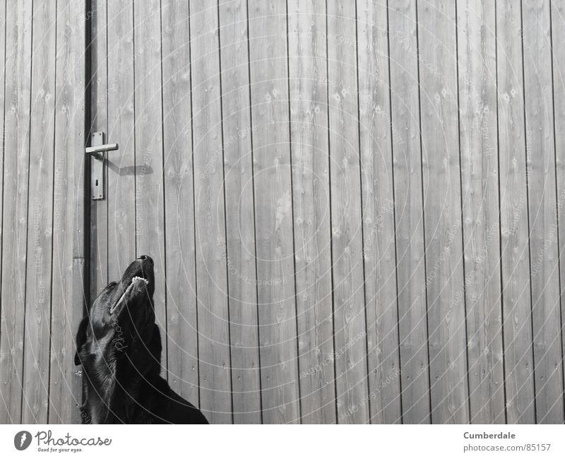 Summer Black Loneliness Dark Wood Dog Door Background picture Set of teeth Longing Wooden board Mammal Door handle Labrador Joist Wooden door