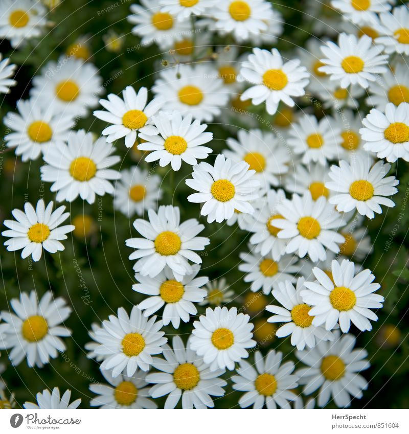 equal & equal... Nature Plant Flower Blossom Daisy Blossoming Growth Esthetic Beautiful Cute Yellow White Many Spring fever Spring flower Flower meadow