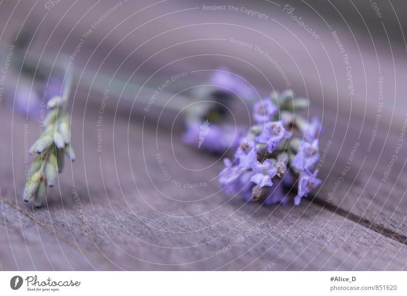 "Lavender Blossom Herbs and spices Alternative medicine Nature Plant Summer Flower Agricultural crop Garden Blue Gray Violet Uniqueness ""Provence inflorescences"