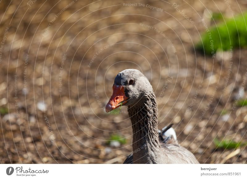 duck face Animal Farm animal 1 Brown Poultry Duck Goose Bird Deserted bokey Earth Beak Colour photo Subdued colour Exterior shot Copy Space top Day