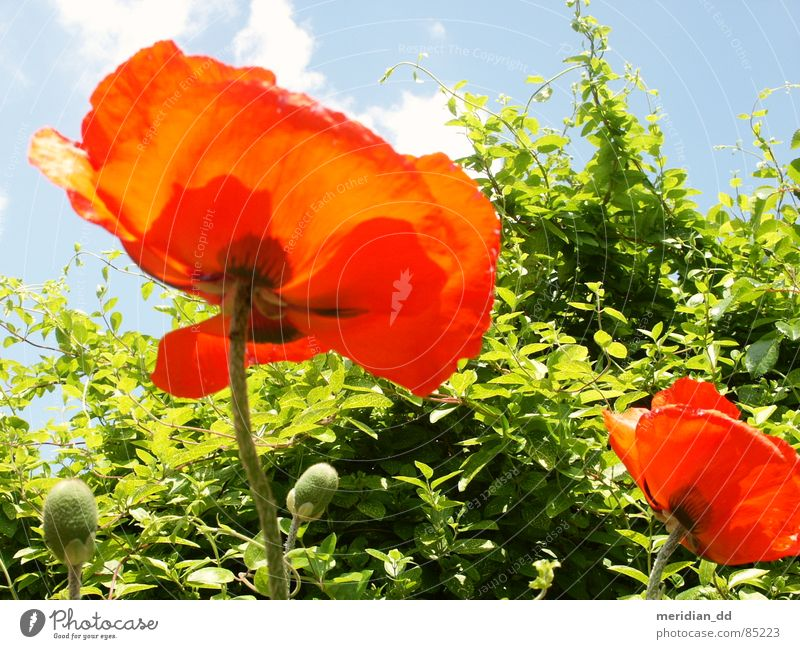 Nature Sky Flower Green Blue Red Summer Joy Clouds Poppy Beautiful weather Harmonious