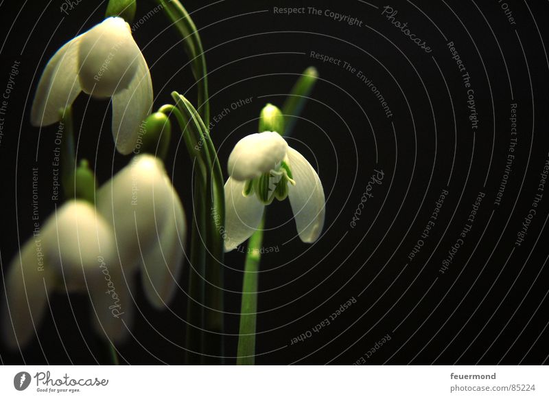 The bells Snowdrop Spring Wake up Plant Bell Blossom Green February March Garden Resurrection Frost Life creepy bells